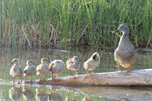 Photo reference, one of many, for Ducks in a Row