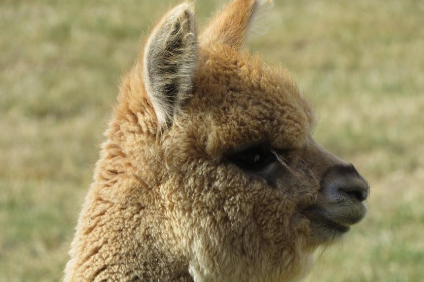 Young alpaca.