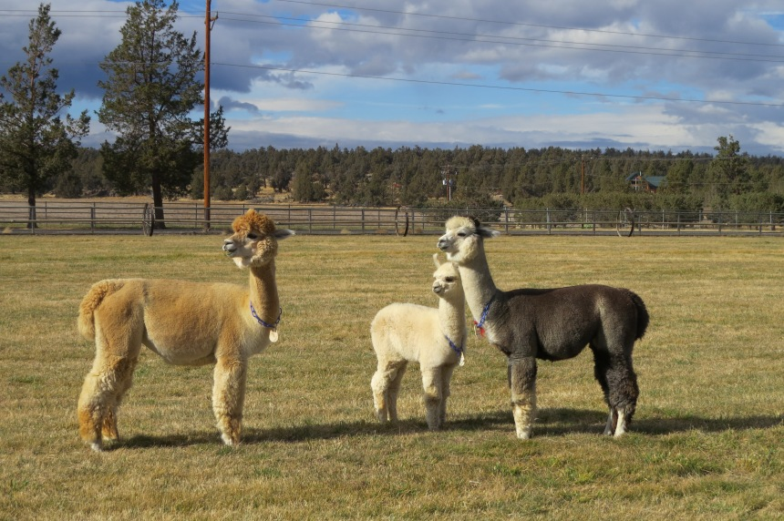 A small family of alpacas